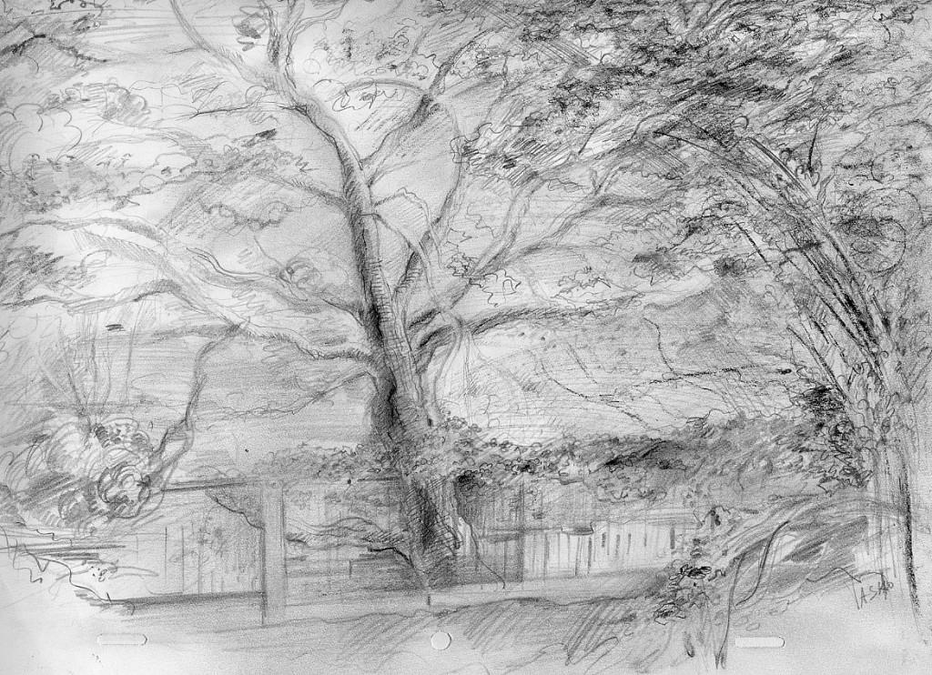 Californian Oak – graphite, 28X43 cm